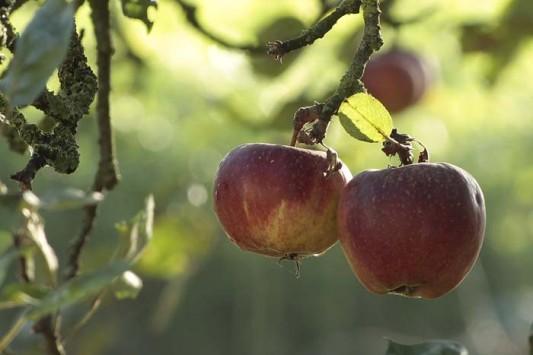 Jeden Tag einen Apfel