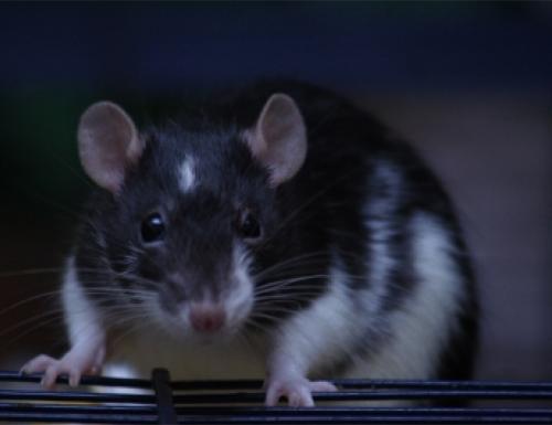 Pixelio Ratte Diekleenehexe