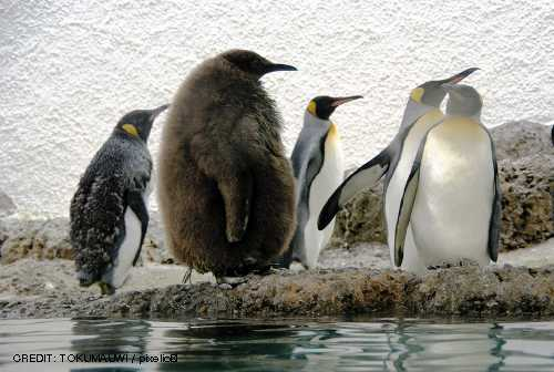Pinguine können nur durch Schwarmintelligenz überleben