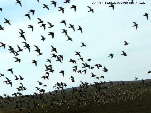 Schwarmintelligente Vogelschwärme faszinieren uns Menschen schon immer