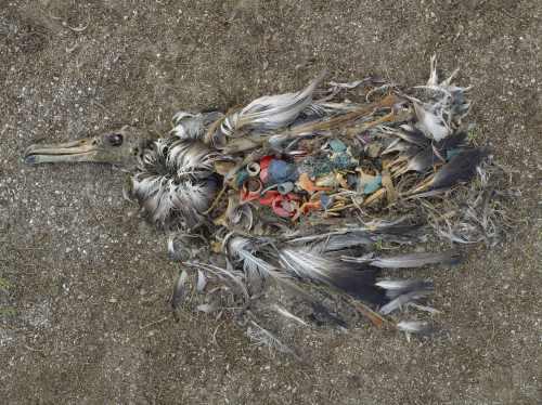 """Plastik im Magen eines Meeresvogels - aus der Ausstellung """"Endstation Meer"""" des Museum für Kunst und Gewerbe Hamburg"""