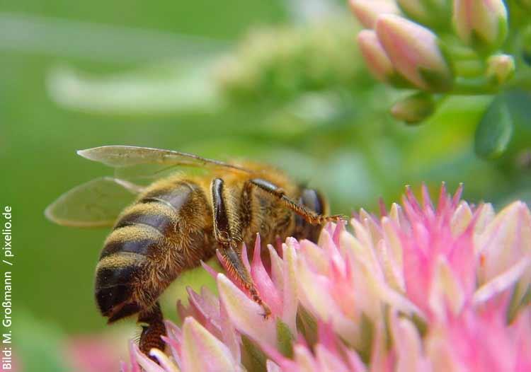 Bienensterben-stoppen-Großmann