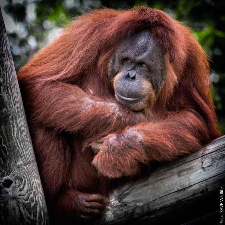 Steht vor dem Aussterben: Der Orang Utan im Regenwald