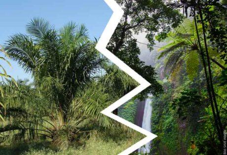 Regenwald oder Palmöl-Monokultur?